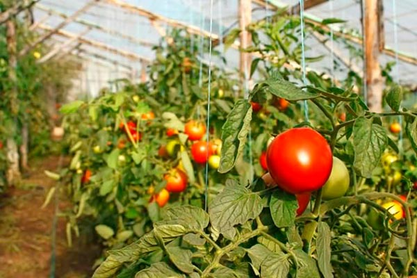 Отличный урожай помидор